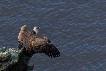 extremadura: griffon vulture on a rock with wide wings in Extremadura Stock Photo
