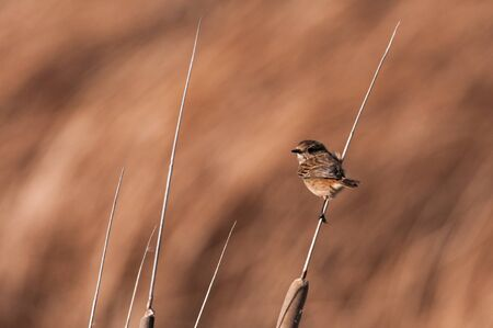extremadura: European stonechat sitting on a twig in Extremadura Stock Photo