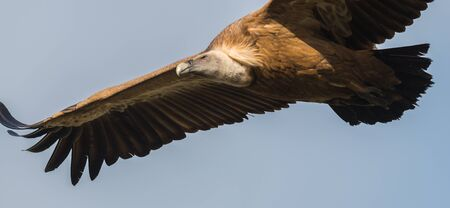 vulture: griffon vulture in flight in Extremadura