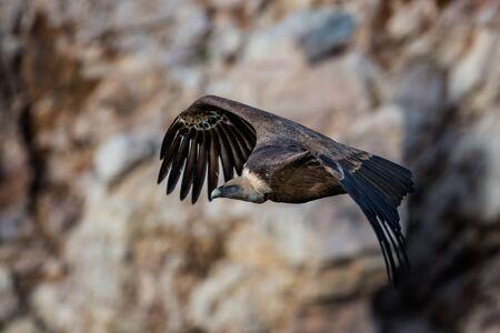 extremadura: griffon vulture in flight in Extremadura