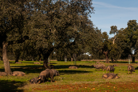 contryside: cork oak and pigs in Extremadura in Spain