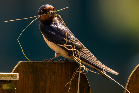 barn swallow: sitting Barn swallow (Hirundo rustica) with nesting material Stock Photo