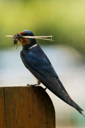 nesting: sitting Barn swallow (Hirundo rustica) with nesting material Stock Photo