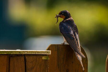 hirundo rustica: sitting Barn swallow (Hirundo rustica) with nesting material Stock Photo