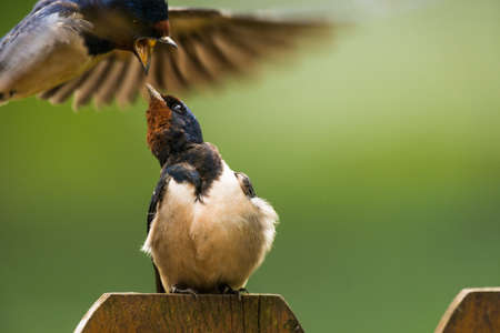 attacked: sitting Barn swallow (Hirundo rustica) grts attacked