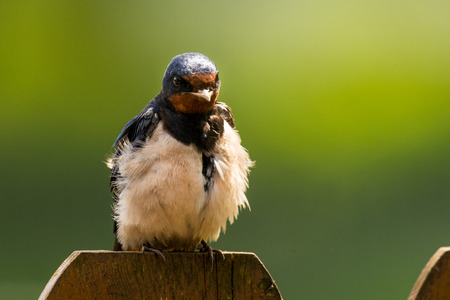 hirundo rustica: sitting Barn swallow (Hirundo rustica)