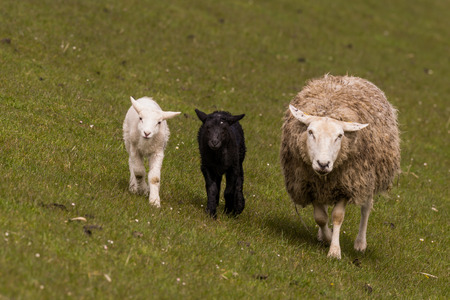 suckle: young black and white sheeps graze at the dike Stock Photo