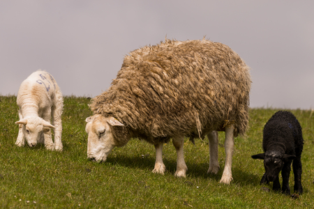 german ocean: young black and white sheeps graze at the dike Stock Photo