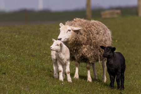 suckle: young sheeps graze at the dike Stock Photo