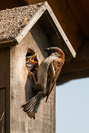 young sparrow at nesting box Stock Photo - 58415149