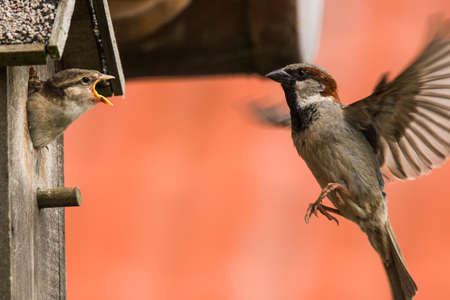 nesting: young sparrow at nesting box