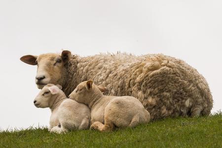 graze: young sheeps graze on the dike