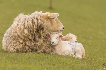 german ocean: young sheeps graze on the dike