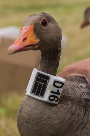 greylag goose with gpsgsm transmitter