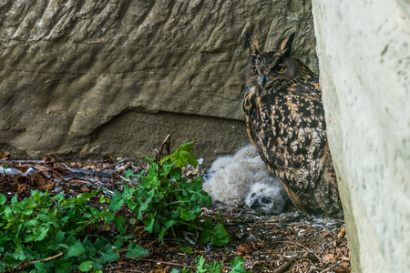eagle-owl in the nest Stock Photo