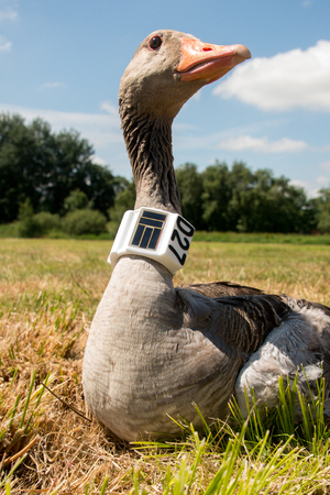 greylag goose with gps gsm transmitter
