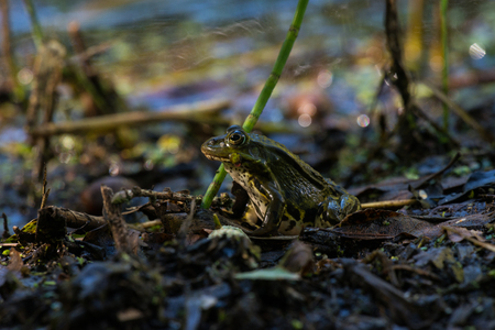 camouflaged: camouflaged edible frog