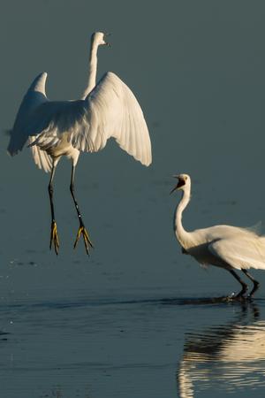 ebro: little egret  at turf war - Egretta garzetta
