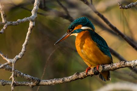 ebro: Kingfisher in tree - Alcedo atthis