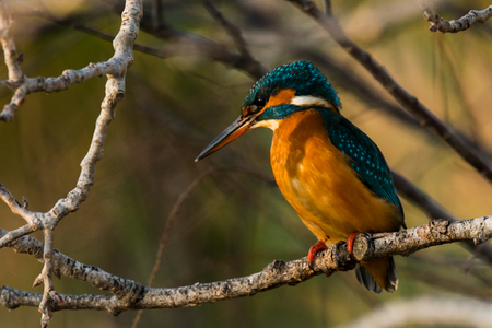 Kingfisher in tree - Alcedo atthis