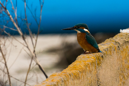 Kingfisher on wall - Alcedo atthis