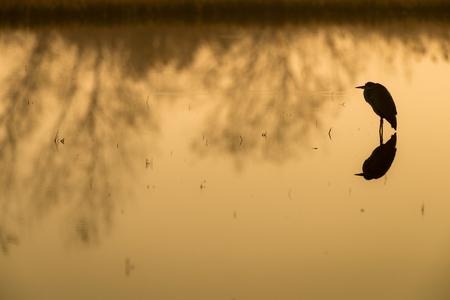 ebro: grey heron  at the lake in the sun setting silhouette Ardea cinerea