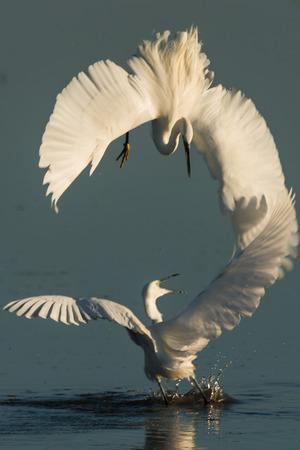 little egret mating Stock Photo