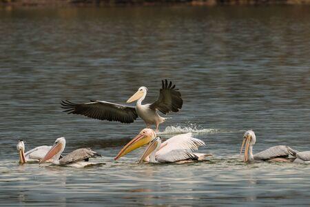 Flock of Dalmatian pelican  Pelecanus crispus