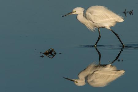 ebro: little egret  at the lake  - Egretta garzetta