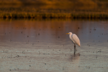 ebro: cattle egret in a pond