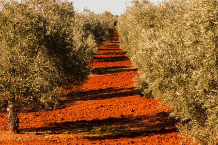 distinctive: Olive trees on red earth Stock Photo