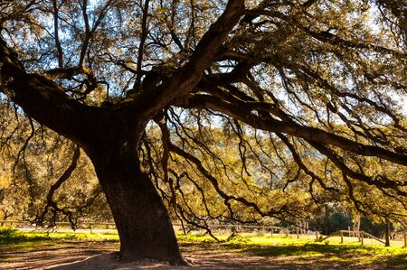large: Large old oak in spain Stock Photo