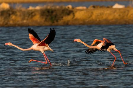 flamingos when starting