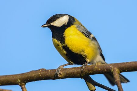 great: Great tit