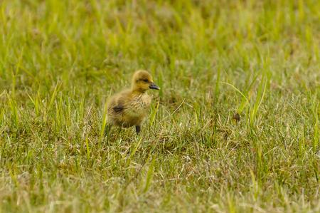 fledgling greylag goose Anser anser