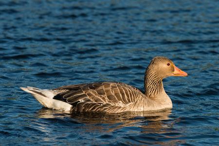 anser: greylag goose Anser anser swimming on a lake Stock Photo
