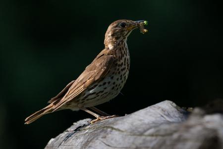 song Thrush with food in beak