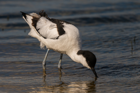 distinctive: pied avocet Recurvirostra avosetta on food search Stock Photo