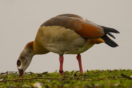 Egyptian goose Alopochen aegyptiacus feeding gras river