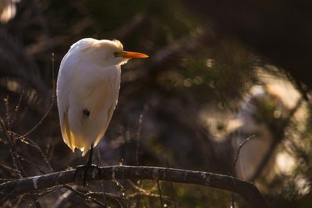 camargue: sitting Cattle egret Bubulcus ibis in a tree