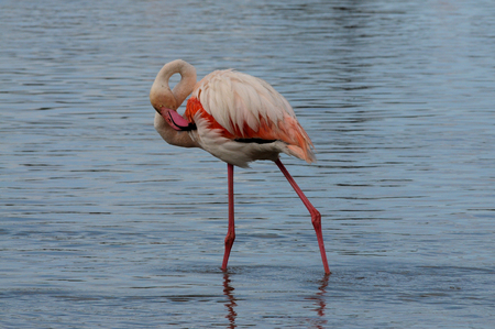 camargue: Flamingos Phoenicopteridae on a lake in camargue france