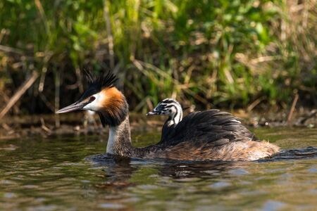 Great crested grebe with young animal on his back Stock Photo