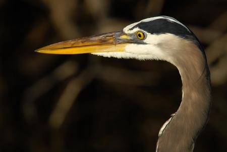 head of grey heron Ardea cinerea Stock Photo