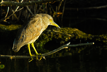 distinctive: Black-crowned night heron Nycticorax nycticorax sitting on tree in sunset