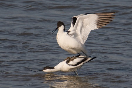 distinctive: pied avocet Recurvirostra avosetta mating playing