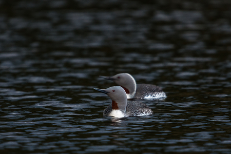 Star divers red-throated loon red-throated diver Gavia stellata on a lake in sweden