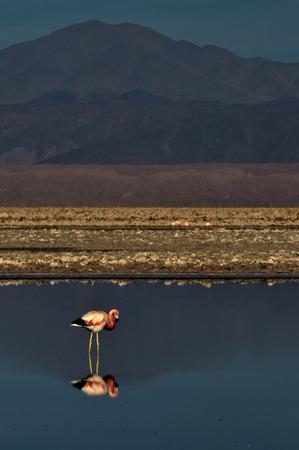 Flamingos Phoenicopteridae Salar de Atacama
