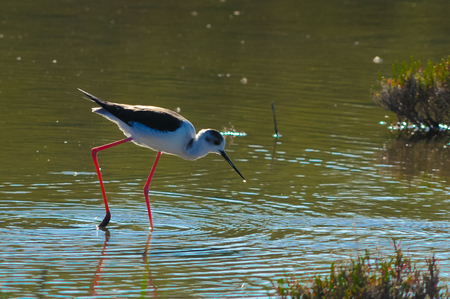 Black-winged Stilt on a lake Stock Photo
