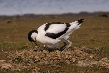 pied avocet Recurvirostra avosetta nest eggs