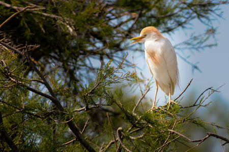 sitting Cattle egret Bubulcus ibis in a tree
